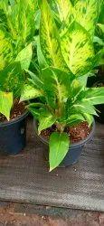 Indoor Gardening Full Sun Exposure Dieffenbachia