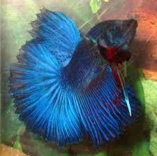 Multicolor Betta Fish Imported