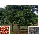 Mimusops Elengi Tree