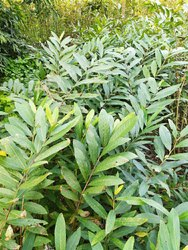 Natural Fast Growth Arjun Plant