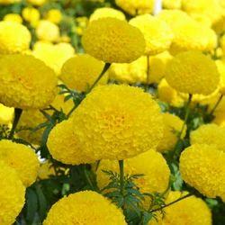 Yellow Plus Marigold Seed