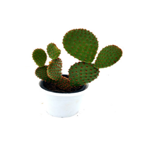 Blind Prickly Pear Blind Pear Succulent Plant
