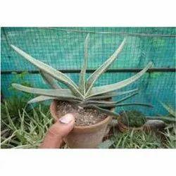 Ageb Cactus Plants