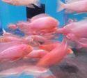 Airsac Catfish