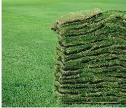 Lawn Grass In Bengaluru Latest Price Amp Mandi Rates From