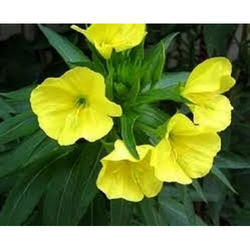 Evening Primrose Extract Powder