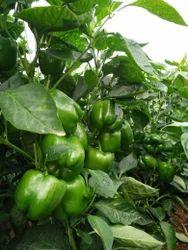 Pasarella Capsicum Seeds