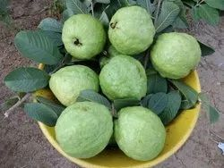 Guava group