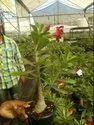 Adenium Desert Rose Plant