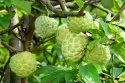 Custard Apple / Sitaphal / Annona Squamosa /  Sugar Apple / Sweetsop / Sarifa Fruit Seeds