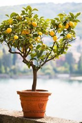 Yellow Lemon Plant