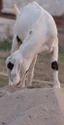 Osmanabadi Goat