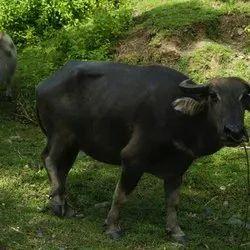 Buffalo - Wholesale Price for Buffalo in India