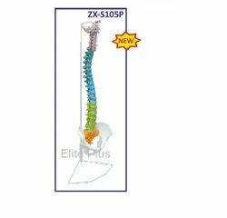 ZX-S105P Vertebral Column Flexible, Didactic Painted