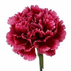 Fresh Carnation Natural Flower