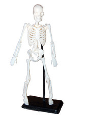 Mini Educational Toy Skeleton Models