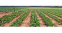 Short Term Crop Drip Irrigation System