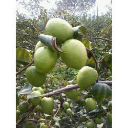 Green Apple Ber Plants