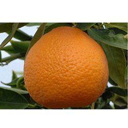 Organic Clementine Oil