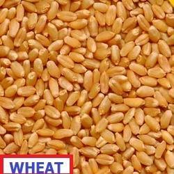 Somnath Agro Natural Wheat Seeds, Pack Size: 20kg, Also Available In 50kg