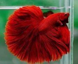 Full red betta (fighter)