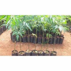 Nursery Melia Dubia Plant