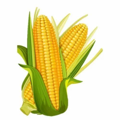 Yellow Maize, Organic