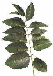 Cassia Fistula Leaves