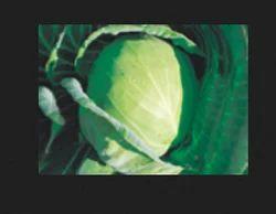 Lusifer  F1 Cabbage