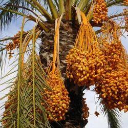 Brown Dates Plants Plantation