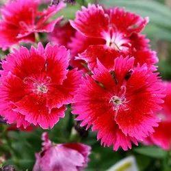 Dianthus Flower Seeds