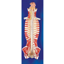 Spinal Cord in The Spinal Canal
