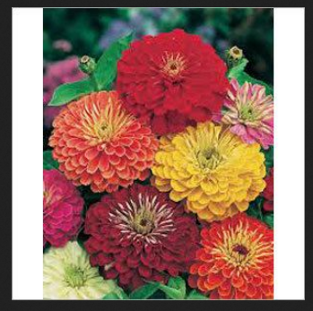 Zinnia Seasonal Flower