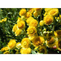 Helichrysum Absolute Oil