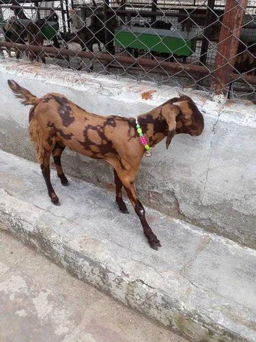 Exporter of Jamunapari Goat & Sirohi Goat by Ganga Bakri