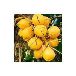 Sivaroma Coconut Carrier Oil