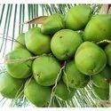 Green Coconut (Daab)