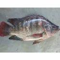 Talbia Fish