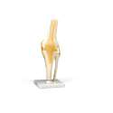 Ivory Knee Joint Model