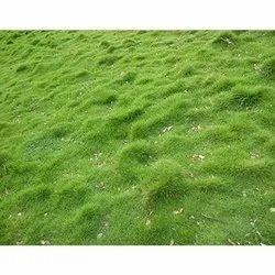 Korian Grass