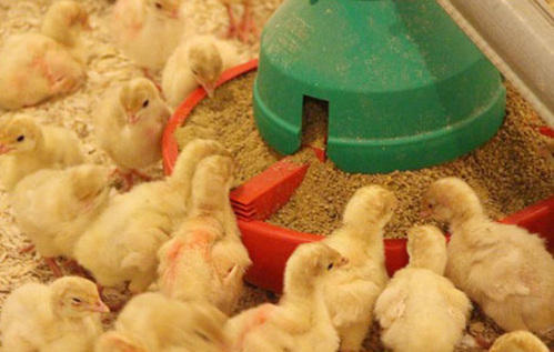 Poultry Feed, Pack Size: 5kg To 50kg Packing Bag | ID