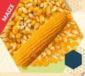 9000 Hybrid Maize Seeds