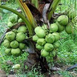 Coconut Plants in Rajahmundry - Latest Price & Mandi Rates