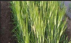 Wheat Sanjivani Tapi