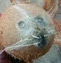Dehusked Coconuts