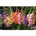 Imported Gladiolus Bulbs