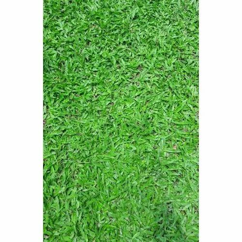 Blade Carpet Grass