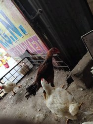 Hen in Hyderabad - Latest Price & Mandi Rates from Dealers