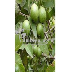 Tissue Culture Lalit Guava Plants