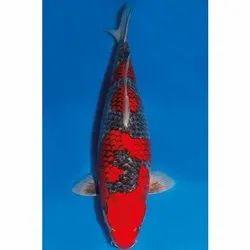 Japanese Natural Koi Fish